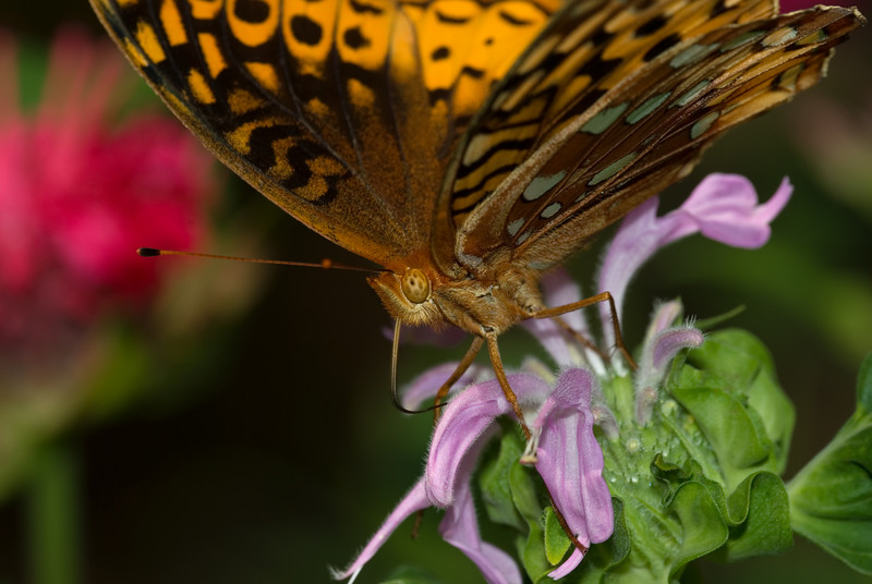 Color Spectrum - Great Spangled Fritillary