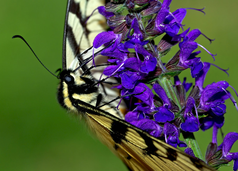 Elegance - Yellow Swallowtail