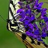 Elegance - Yellow Swallowtail