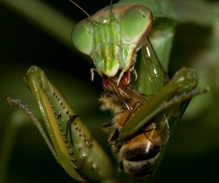 Praying Mantis consumes Honey Bee - crop detail
