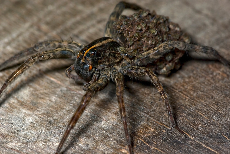 """Female Wolf Spider (Hogna helluo) with her baby spiders (aka """"spiderlings"""")<br /> <br /> Note the baby crawling on her body, apart from the clustered group of spiderlings"""