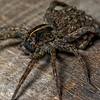 "Female Wolf Spider (Hogna helluo) with her baby spiders (aka ""spiderlings"")<br /> <br /> Note the baby crawling on her body, apart from the clustered group of spiderlings"