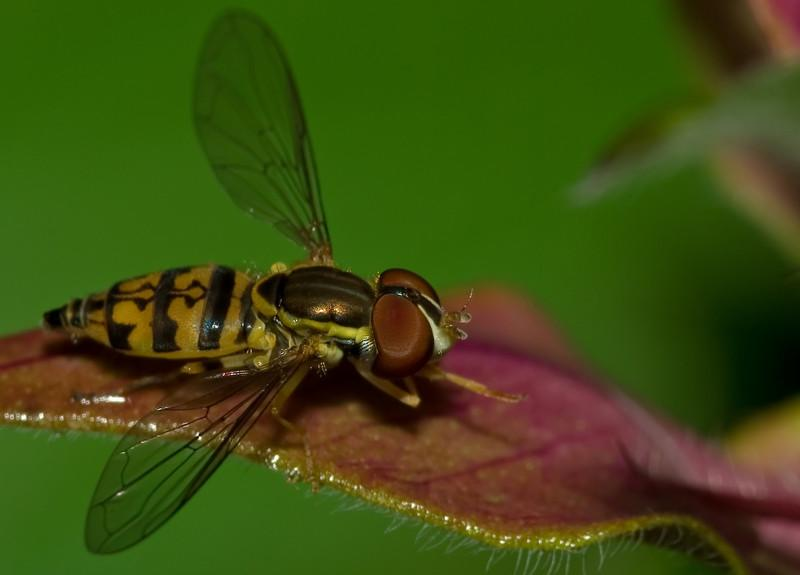 Cleaning Time - Toxomerus Hover Fly