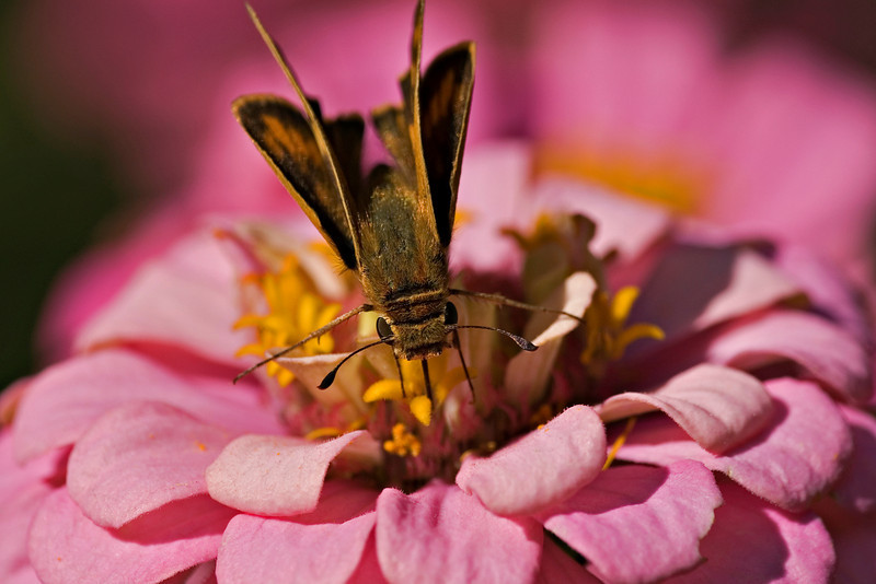 (Skipper) Searching for Nectar