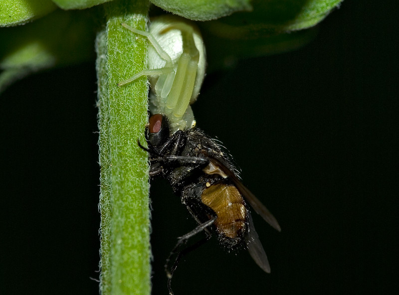 Crab Spider holding it's prey