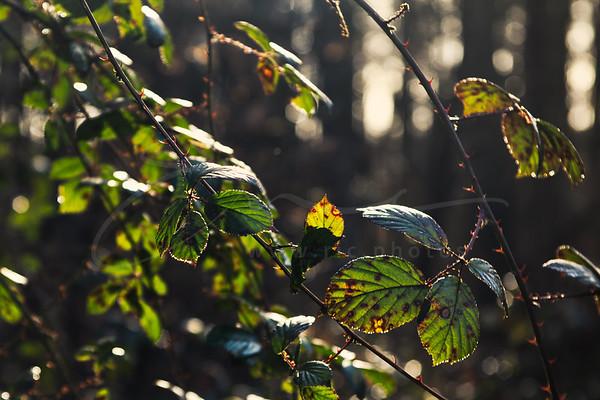 La Belle au bois dormant au soleil | wild roses in the sun