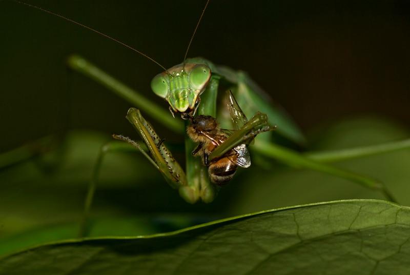Praying Mantis consumes Honey Bee