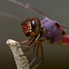 Dragonfly - Roseate Skimmer
