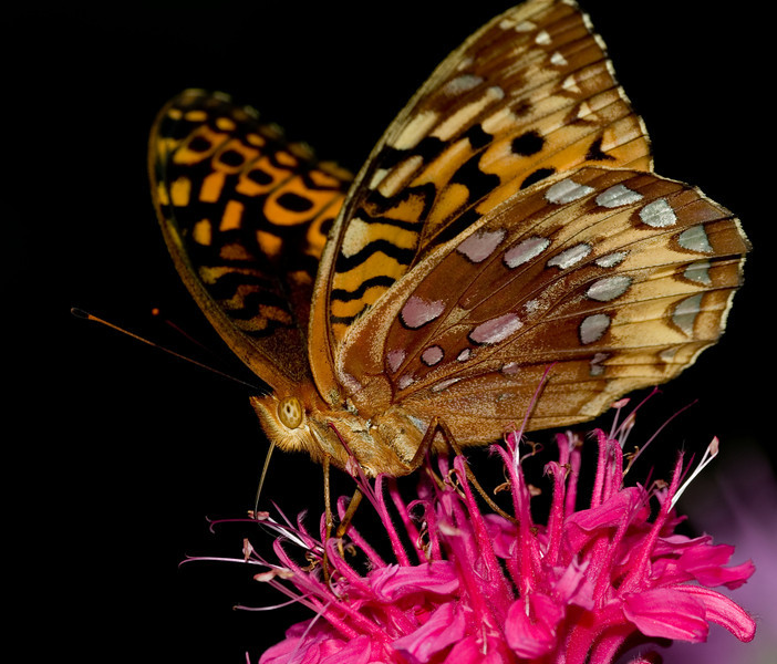 Repose - Great Spangled Fritillary