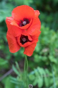 coquelicot - les amoureux | corn poppy - the lovers