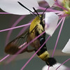 Snowberry Clearwing Moth - Hemaris diffinis - crop