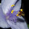 Hover Fly on Wild Spiderwort II