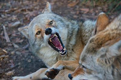 Unhappy Coyote