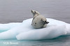 Crabeater Seal Resting on Ice Floe, Steaming to Release Heat