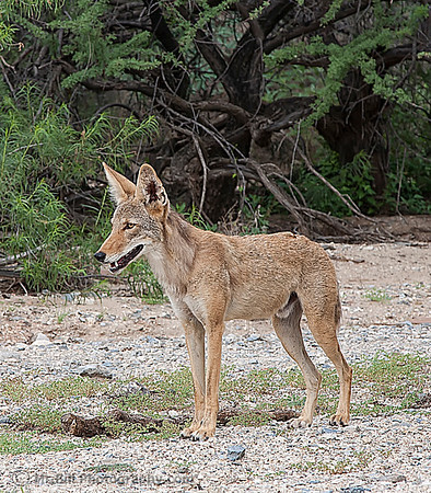Coyote on side of road in Tucson