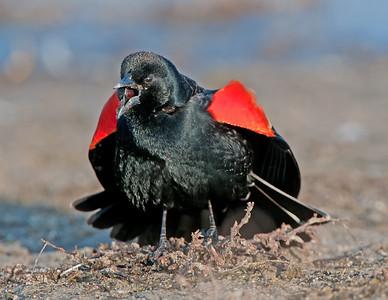 Blackbird: Male Red-Winged Blackbird Robert H. Long Nature Park Commerce Michigan  3/19/11