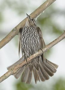 Blackbirds: Juvenile Red-Winged Blackbird Magee Marsh Wildlife Area  Ohio  6/5/10