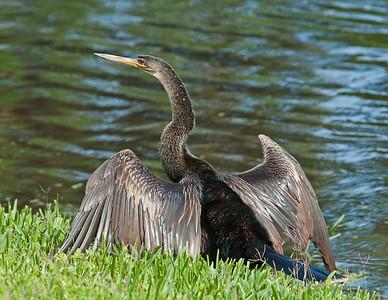 Anhinga Male Orlando Florida 3/31/07