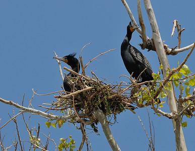 Cormorants: Double-Crested Cormorant Sandusky Bay Ohio  5/2/09