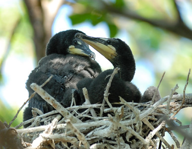 Cormorants: Juvenile Double-Crested Cormorant Sandusky Bay Ohio  6/5/09
