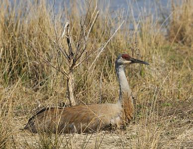 Cranes: Sandhill Crane Sandy Ridge Reservation Ohio 4/10/10