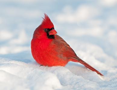 Cardinals: Male Northern Cardinal Sheldon Marsh State Nature Preserve Ohio 12/18/10