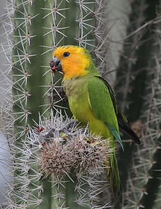 Caribbean Parakeets: Brown-Throated Parakeet Bonaire 1/20/10