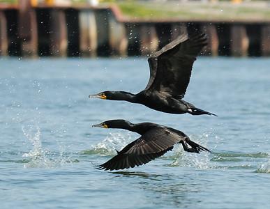 Cormorants: Double-Crested Cormorant Sandusky Bay Ohio  6/5/09