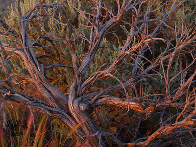 Sagebush at sunset