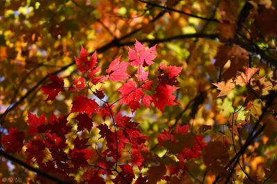 Fall leaves @ UT Arborteum