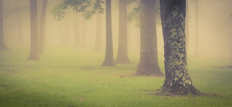 Foggy Trees