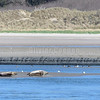 Veaux marins et huitriers