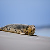 Phoques de la Baie de Canche © 2020 Olivier Caenen, tous droits reserves