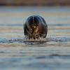 Veau marin © 2016 Olivier Caenen, tous droits reserves