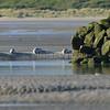 Les Veaux Marins de la Baie de Canche