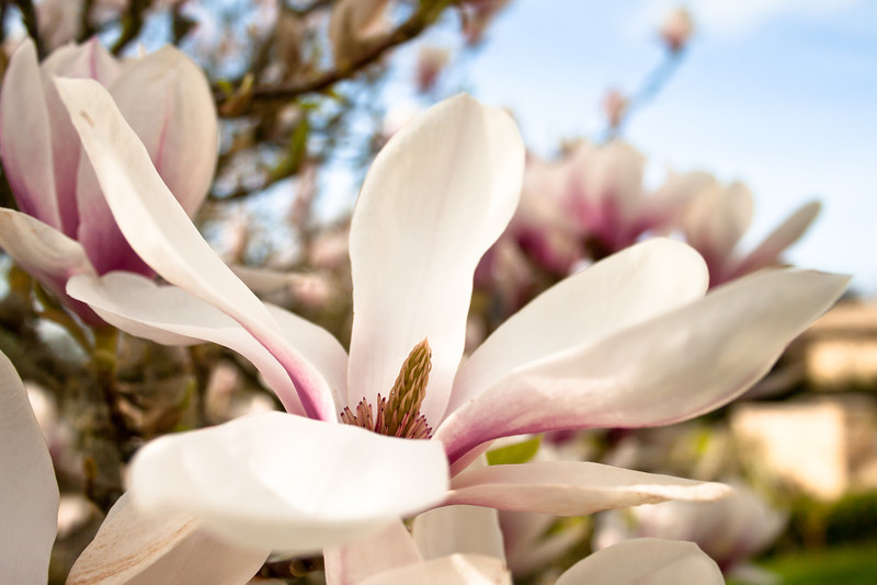 Magnolia soulangeana. <br />  <br /> All too often the large Magnolia flowers can be spoilt by a late frost.  When they do come through unscathed however,  few trees can match their beauty.