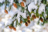 Snow-covered Douglas fir and cones on a wintry Spring morning. - Evergreen, Colorado