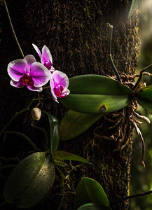 The Tree Orchid