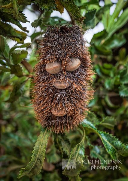 Banksia Serrata Follicles