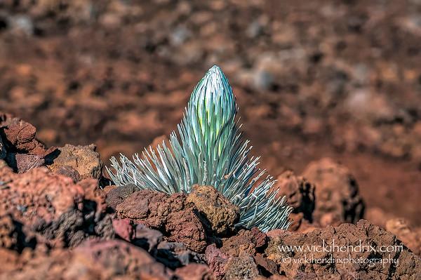 Delicate, young Haleakala Silversword plant, also known as 'Ahinahina in Hawaiian.   -Haleakala National Park, Hawaii
