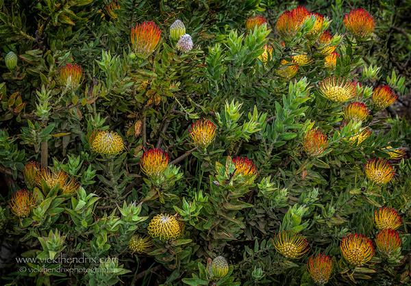 Protea Pin Cushion Plant - Hawaii