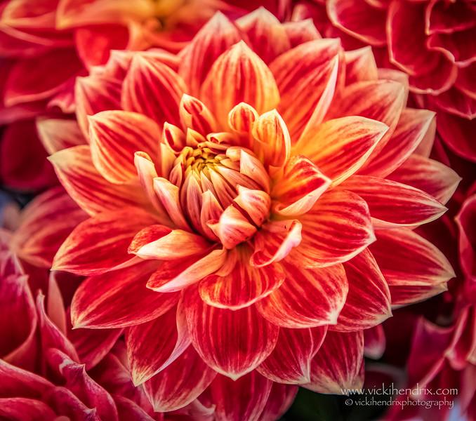 Coral-orange-yellow blend Dahlia - Seattle, Washington