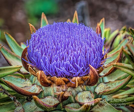 Globe Artichoke Flower - Hawaii