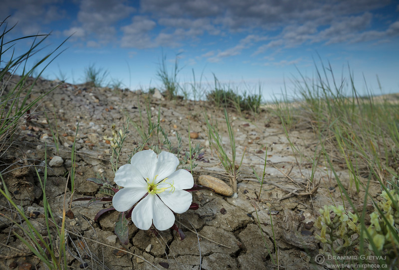 Gumbo evening-primrose. Grasslands National Park, Saskatchewan
