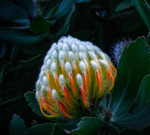 Pincushion Protea - Maui, Hawaii
