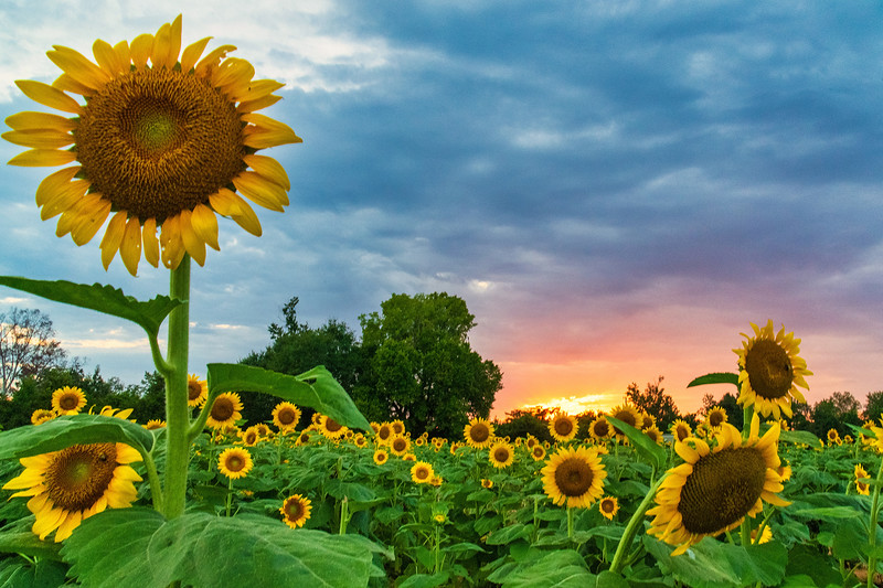 Sunset and Sunflowers