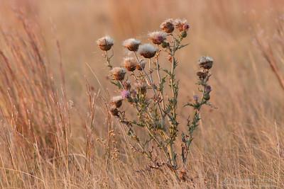 Flodman's thistle, Grasslands National Park, Saskatchewan