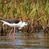 Reserve Ornithologique Baie de Somme - Grand-Laviers © 2020 Olivier Caenen, tous droits reserves