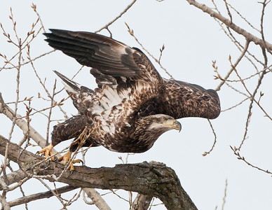 Juvenile bald eagle at Lock & Dam 14, Le Claire, Iowa