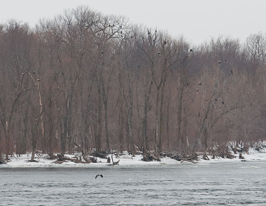 Bald Eagles on the bank at Lock & Dam 18.